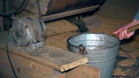 A máquina peneira a grão e as mãos do trabalhador tiram a aveia e derramam-na na cubeta de aço video estoque