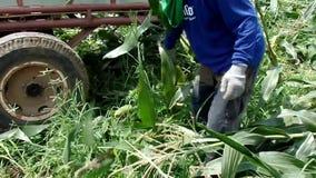Máquina segador de maíz que recolecta la mazorca de maíz almacen de metraje de vídeo
