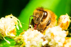Máquina segador que recoge el polen Imagen de archivo