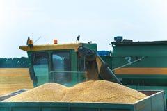 Máquina segadora en la acción en el campo de trigo, descargando granos Fotos de archivo