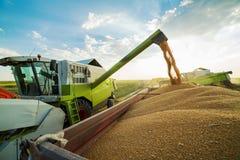 Máquina segadora en la acción en el campo de trigo, descargando granos Fotografía de archivo