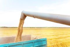 Máquina segadora en la acción en el campo de trigo, descargando granos Imagen de archivo