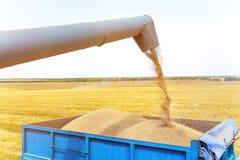 Máquina segadora en la acción en el campo de trigo, descargando granos Imágenes de archivo libres de regalías