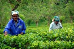 Máquinas desbastadoras do chá na plantação de chá Fotografia de Stock