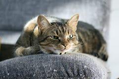 Mármore sonolento preguiçoso o gato listrado, retrato de furar o gato malhado doméstico encontra-se no sofá cinzento imagens de stock royalty free