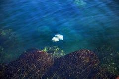 Más medusas de la profundidad que flotan en la laguna del mar como resultado de t Imagen de archivo