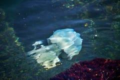 Más medusas de la profundidad que flotan en la laguna del mar como resultado de t Imagen de archivo libre de regalías