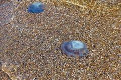 Más medusas de la profundidad que flotan en la laguna del mar como resultado de t Imagenes de archivo