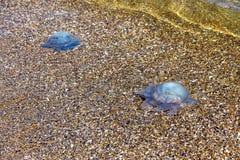 Más medusas de la profundidad que flotan en la laguna del mar como resultado de t Imágenes de archivo libres de regalías