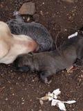 Más perritos que son añadidos la litera a la mezcla de Weimarnar/del laboratorio Imagen de archivo libre de regalías