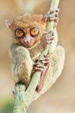 Más tarsier filipino Imagenes de archivo