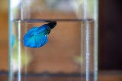 Máscara bonita dos peixes de combate do betta azul que nadam apenas na garrafa de vidro clara da água fresca com fundo borrado imagem de stock