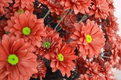 Máscara coral alaranjada ou brilhante Peachy da cor do fundo das flores do crisântemo, cor do ano 2019 nomeado coral vivo imagens de stock