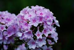 Máscaras das flores cor-de-rosa do flox que florescem em um jardim Fotografia de Stock