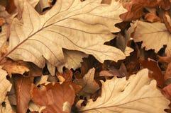 Máscaras das folhas de outono caídas marrons torradas Foto de Stock Royalty Free