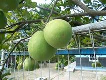 Máximos do citrino Imagens de Stock Royalty Free