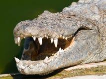 Mâchoire de crocodile Photographie stock libre de droits