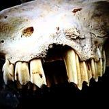 Mâchoire et crâne absent de moutons de Ram de dent sur le fond noir photographie stock libre de droits