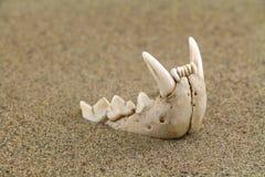 Mâchoire supérieure de chat sauvage stricte en sable de désert Image stock