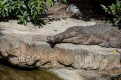 Mâchoires croisées par gavialwith faux Photo libre de droits