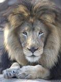 Mâle adulte de lion africain regardant l'appareil-photo Photographie stock
