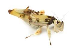 Mâle adulte et mante femelle d'orchidée, d'isolement sur le blanc Image stock