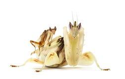 Mâle adulte et mante femelle d'orchidée d'isolement sur le blanc images libres de droits