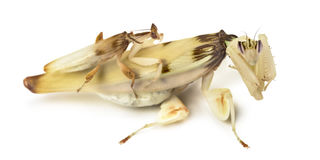 Mâle adulte et mante femelle d'orchidée d'isolement sur le blanc Images stock