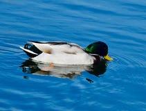 Mâle adulte Mallard Duck Seeking Food sur l'étang du sud photos stock