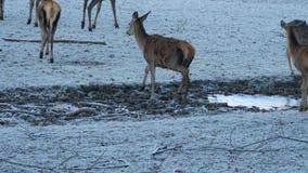 Mâle adulte puissant majestueux de cerfs communs affrichés chez des animaux de forêt de chute d'automne dans l'environnement natu clips vidéos