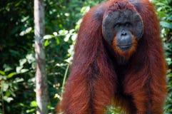 Mâle alpha d'Utan d'orang-outan se tenant au Bornéo Indonésie image stock