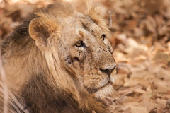 Mâle asiatique de lion blessé dans le combat teritorial Photo stock