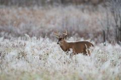 mâle Blanc-coupé la queue de cerfs communs dans le domaine couvert par gel image stock