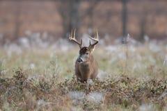 mâle Blanc-coupé la queue de cerfs communs dans le domaine couvert par gel photos stock