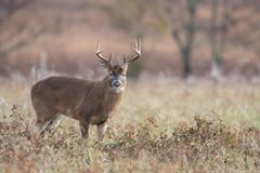 mâle Blanc-coupé la queue de cerfs communs dans le pré ouvert photo stock