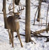 mâle Blanc-coupé la queue de cerfs communs dedans avec des bandes de frottement d'arbre Image stock