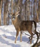 mâle Blanc-coupé la queue de cerfs communs dedans avec des bandes de frottement d'arbre Photos stock