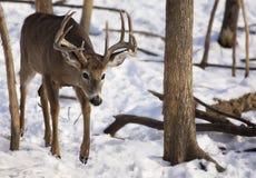 mâle Blanc-coupé la queue de cerfs communs en hiver Image libre de droits