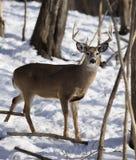 mâle Blanc-coupé la queue de cerfs communs en hiver Image stock
