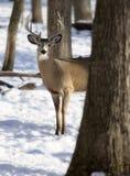 mâle Blanc-coupé la queue de cerfs communs en hiver Photographie stock