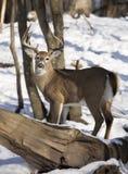 mâle Blanc-coupé la queue de cerfs communs en hiver Photos libres de droits