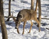 mâle Blanc-coupé la queue de cerfs communs en hiver Photo stock