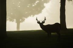 mâle Blanc-coupé la queue de cerfs communs le matin brumeux Photographie stock