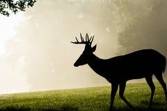 mâle Blanc-coupé la queue de cerfs communs le matin brumeux Photographie stock libre de droits