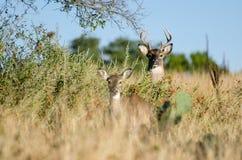 mâle Blanc-coupé la queue de cerfs communs, Texas Hill Country photos stock