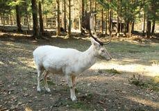 Mâle blanc de cerfs communs affrichés Photo libre de droits