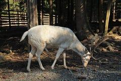 Mâle blanc de cerfs communs affrichés Photos libres de droits
