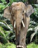 Mâle Bornéo d'éléphant Photographie stock