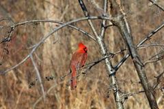 Mâle cardinal Images libres de droits