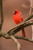 Mâle cardinal nordique Photographie stock libre de droits